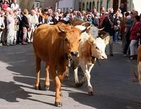 BAUERNWOCHEN: Almabtrieb der Rinder