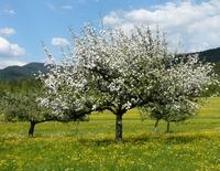 Obstbaumberatung