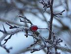 Botanische Exkursionen rund um Zierenberg: Dornröschenschlaf - Bäume im Winter