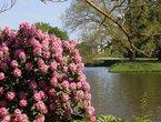 Die Rhododendronblüte