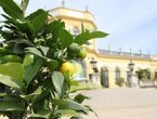 Die goldenen Äpfel der Insel und andere Kübelpflanzen