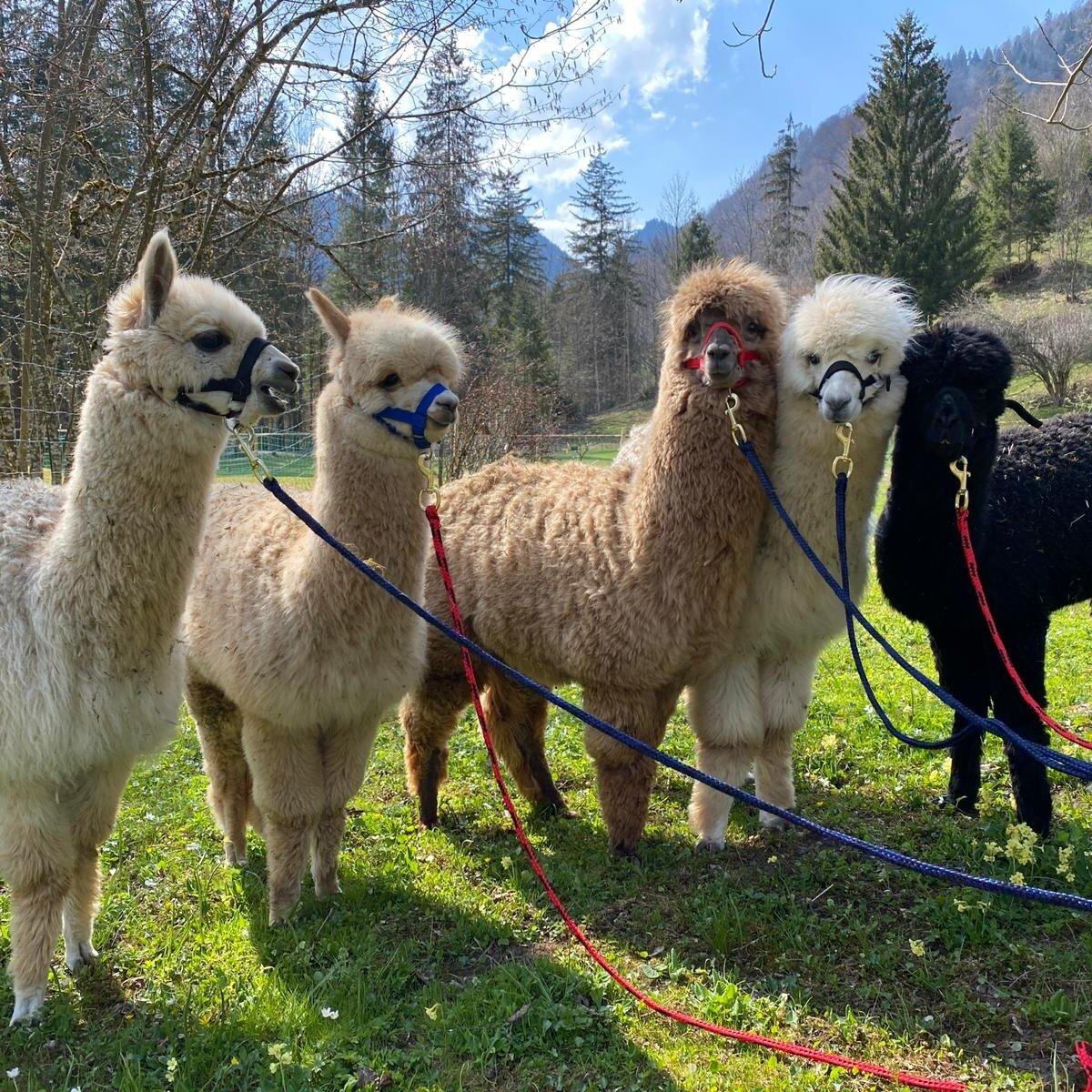 Alpacawanderung