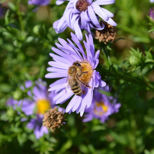 Ausstellung Die Honigbienen - Überfliegerin mit sechs Beinen