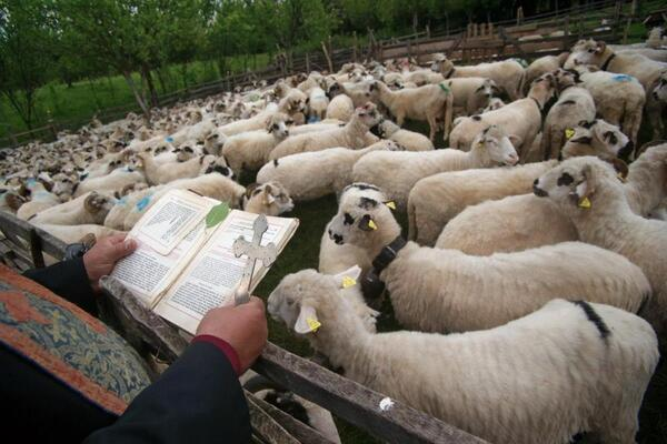 Blessing of Sheep   Remus Tiplea