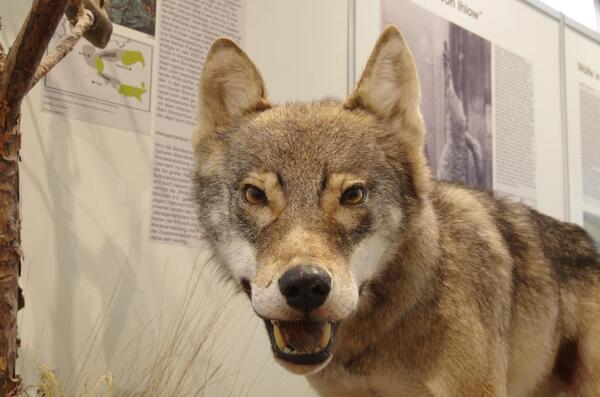 Grauwolf (© Naturkundemuseum Potsdam/ Foto: C. Blumenstein) | Naturkundemuseum Potsdam