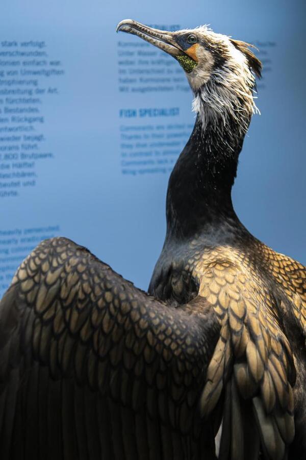 Der Kormoran gehört in Brandenburg mittlerweile zu den besonders geschützten Vogelarten | Naturkundemuseum Potsdam